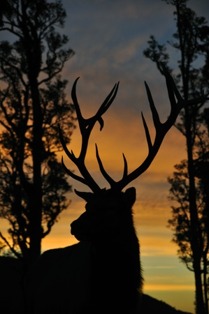 red deer stag at sunset, West Coast, South Island, New Zealand Stock Photo - 15118154