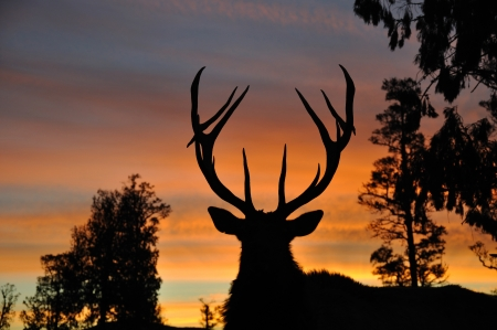 red deer stag at sunset, West Coast, South Island, New Zealand