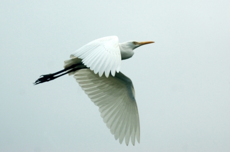 water birds: white heron, Egretta alba, (Kotuku) in flight, New Zealand
