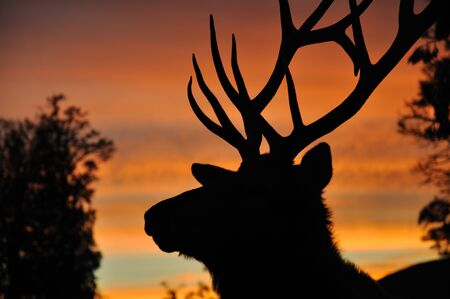 red deer stag at sunset, West Coast, South Island, New Zealand Stock Photo - 15118138