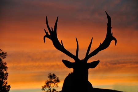 antlers silhouette: red deer stag, Cervus elephus, at sunset
