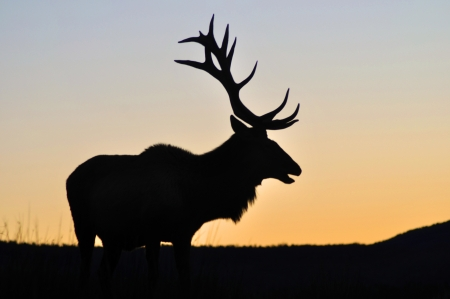 pics: red deer stag at sunset, West Coast, South Island, New Zealand Stock Photo