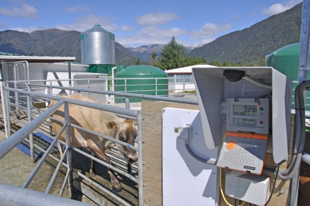 Jersey cow entering computering weighbridge to monitor individual cows as they leave the milking shed, Westland, New Zealand