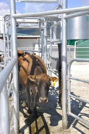 westland: Jersey cow navigating the races outside the milking shed, Westland, New Zealand Stock Photo