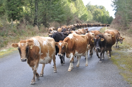 landuse: Jersey cows on the main road, walking between farms, Westland, New Zealand Stock Photo