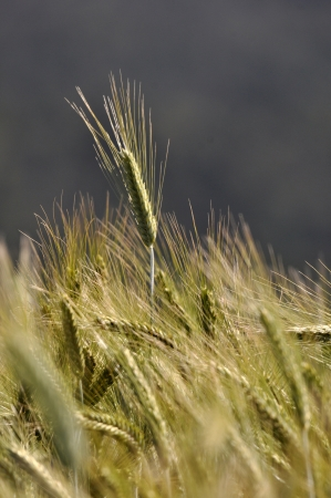 landuse: triticale grown for a dairy farm silage crop, Westland, New Zealand Stock Photo