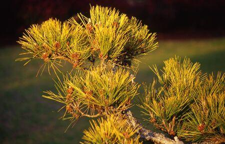 Morning light on conifer in Japanese Garden, Toowoomba, Queensland, Australia Stock Photo - 15118226