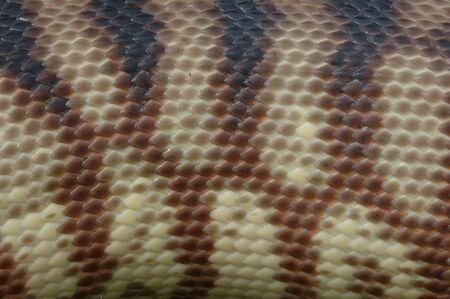 reptillian: Detail of skin on an Australian black headed python, Aspidites melanocephalus