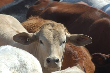 Portrait of beef cattle waiting in saleyard photo