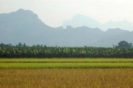 Rice growing in Tamil Nadu, South India photo