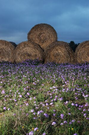 qld: Haybales with purple clover near Toowoomba, Queensland, Australia