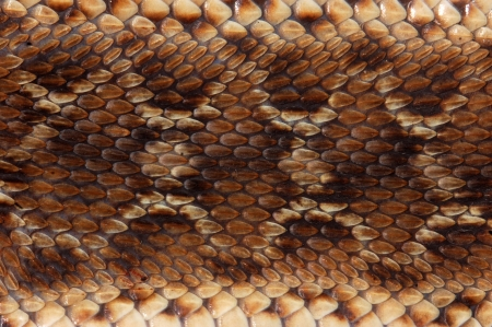 Closeup of pattern on saw-scaled Viper, Echis carinatus, Tamil Nadu, South India Stock Photo