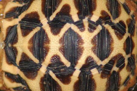 shell of Indian Starred Tortoise, Geochelone elegans, Tamil Nadu, South India