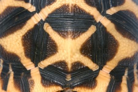 reptillian: shell of Indian Starred Tortoise, Geochelone elegans, Tamil Nadu, South India