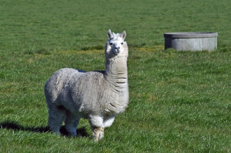 White alpaca, Vicugna pacos, in farm paddock, Westland, New Zealand  The animals are shorn for their alpaca fiber, used in the textile industry