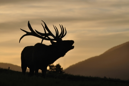 red deer stag roaring at sunset, West Coast, South Island, New Zealand Stock Photo