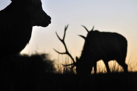 red deer stags at sunset, West Coast, South Island, New Zealand photo