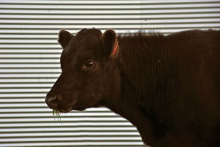 Cute Angus yearling calf, Westland, New Zealand Stock Photo - 15779296