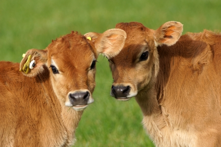 Cute Jersey calves, Westland, New Zealand 版權商用圖片 - 15887476