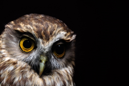 Portrait of New Zealand's iconic morepork, Ninox novaseelandiae Stock Photo