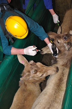 farmed: technician testing red deer, Cervus elephus, for tuberculosis
