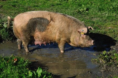 wallowing: Domestic pig wallowing in a mud puddle, Westland, New Zealand