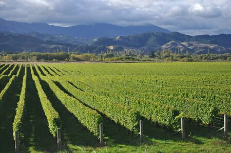 Well-groomed vinyard in Marlborough, New Zealand