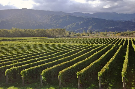 Well-groomed vinyard in Marlborough, New Zealand photo
