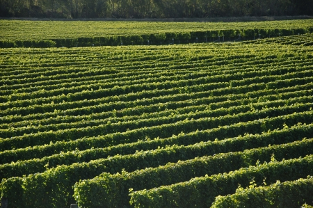 Well-groomed vinyard in Marlborough, New Zealand Stock Photo - 15964656