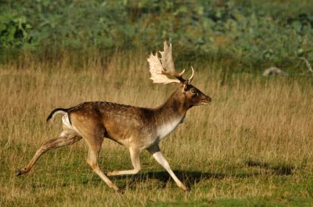 fallow deer: fallow deer buck, Dama dama, running  in Westland, New Zealand Stock Photo
