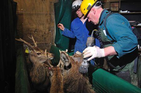 vaccinating: technician testing red deer, Cervus elephus, for tuberculosis