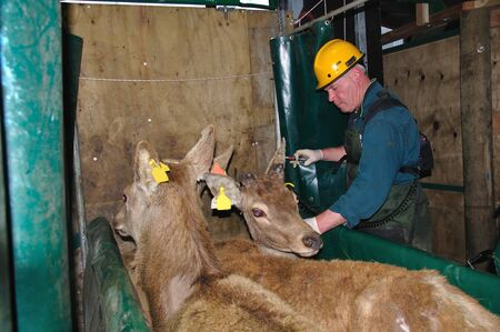 technician testing red deer, Cervus elephus, for tuberculosis        photo