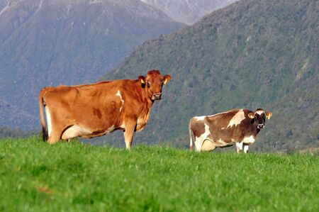 landuse: Jersey cows on the lookout, Westland, New Zealand Stock Photo