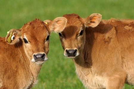 Cute Jersey calves, Westland, New Zealand Stock Photo - 16485858