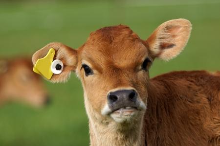 dairying: Cute Jersey calf, Westland, New Zealand Stock Photo