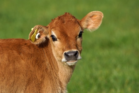 landuse: Cute Jersey calf, Westland, New Zealand Stock Photo