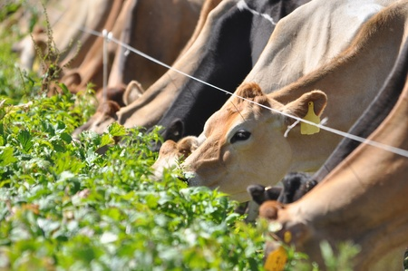 landuse: Jersey cows at the break fence for a winter feed of turnips, Westland, New Zealand Stock Photo