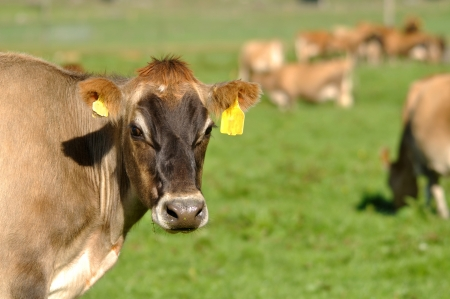 landuse: Herd of Jersey cows, Westland, New Zealand Stock Photo