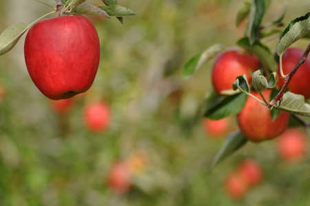 Ripe apples growing in an orchard at Nelson, New Zealand photo
