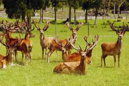 mobs: Impressive mob of red deer stags, Cervus elephus, in velvet, Westland, New Zealand Stock Photo