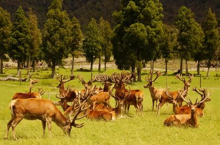 mobs: Impressive mob of red deer stags, Cervus elephus, in velvet, Westland, New Zealand