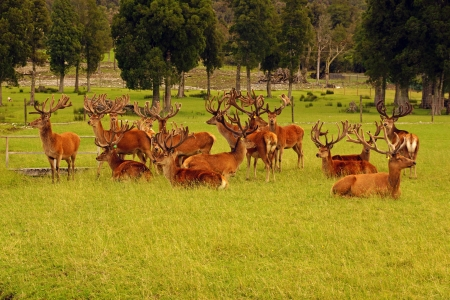 mobs: Impressive mob of red deer stags, Cervus elephus, in velvet, Westland, New Zealand Stock Photo