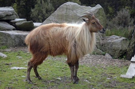 introduced: introduced game animal, the Himalayan goat, or Thar, (Hemitragus jemlahicus) released only in South Westland, South Island, New Zealand