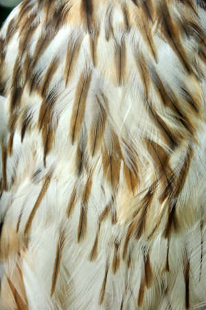 birdlife: detail of chest feathers on an Australasian Harrier Hawk, Circus approximans, New Zealand
