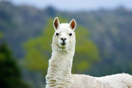 White alpaca, Vicugna pacos, in farm paddock, Westland, New Zealand photo