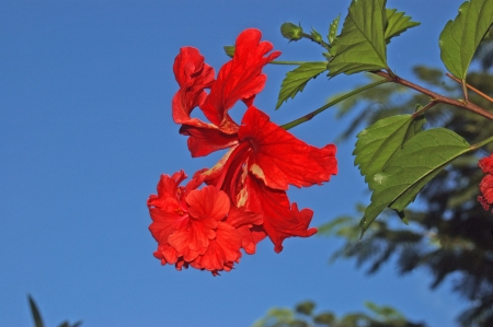 red double hibiscus, growing in Tamil Nadu, India  photo