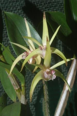 ira: Australian hyrbid orchid - Dendrobium Aussie ira x jesmond dazzler