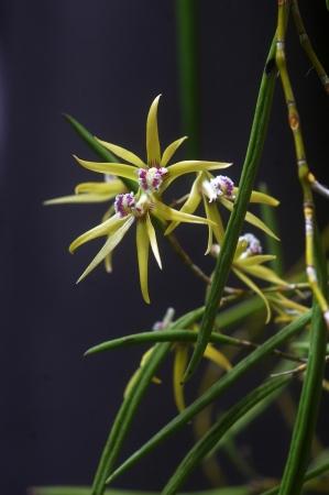 var: Australian native orchid - Dockrillia teretifolia var aurum