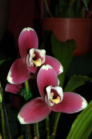 miller: Purple orchids - Lycaste Alwina miller Stock Photo