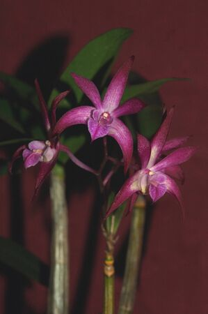 hybridization: small mauve orchid - Dendrobium peewee